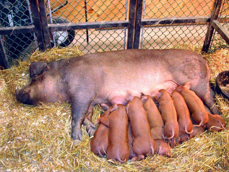 Самый дорогой товар — свиноматка