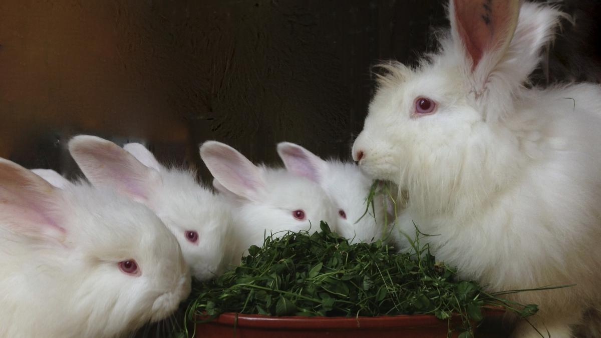 Свежая трава в рационе питания кроликов