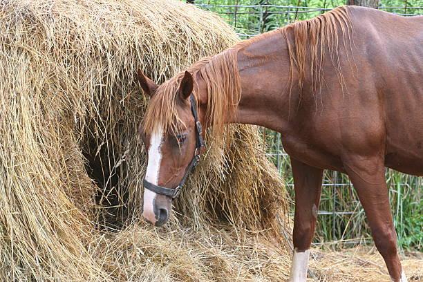 Сено обязательно должно присутствовать в рационе лошади