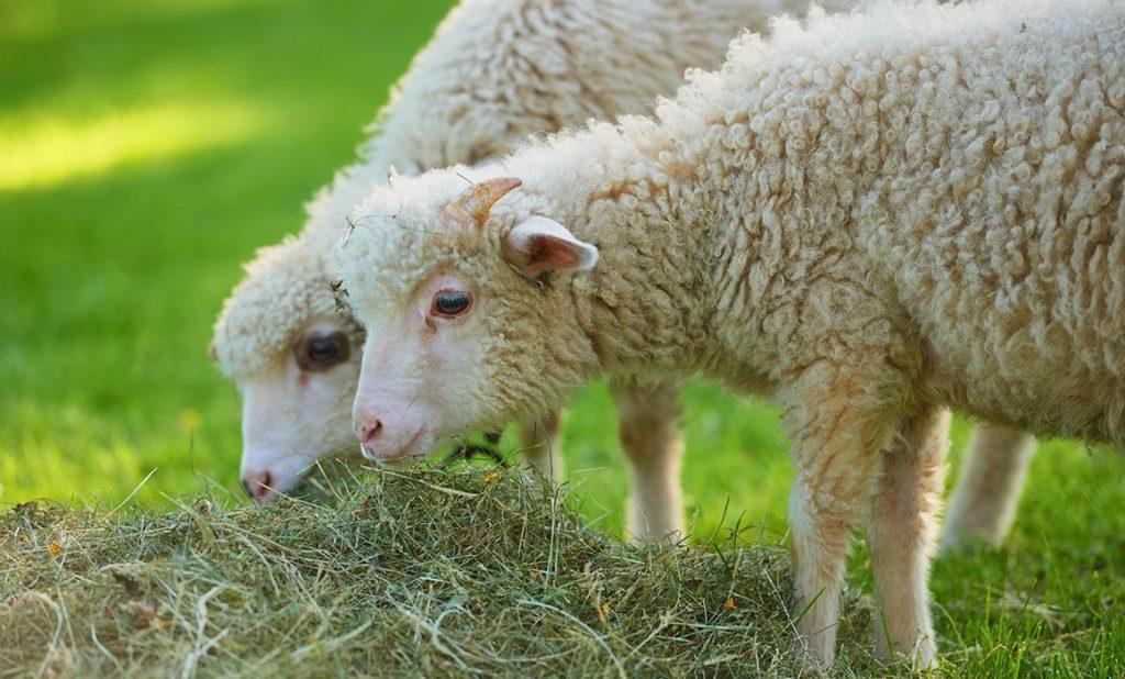 Сено полезно для овец