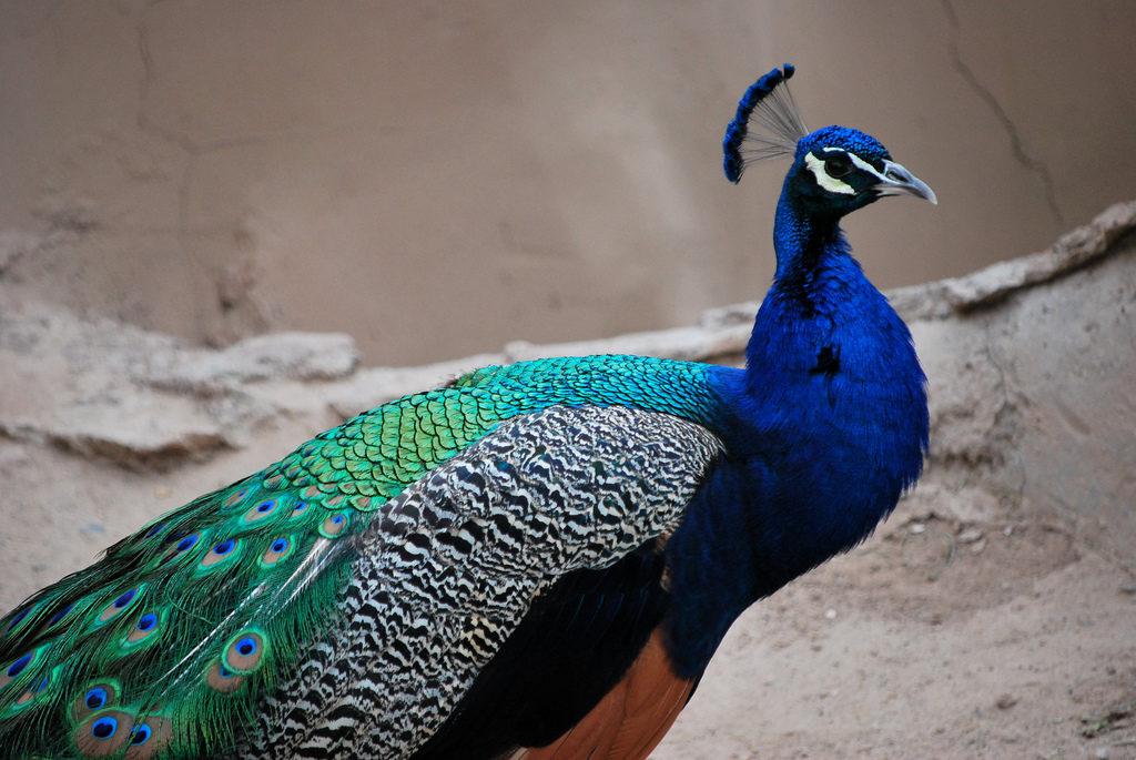 Синие павлины - самый распространённый вид