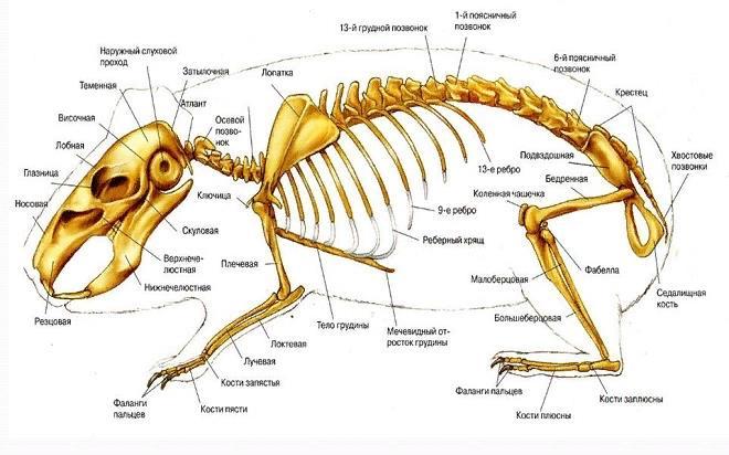 Скелет кролика состоит более чем из двухсот костей, а самые широкие позвонки имеются у представителей мясных пород