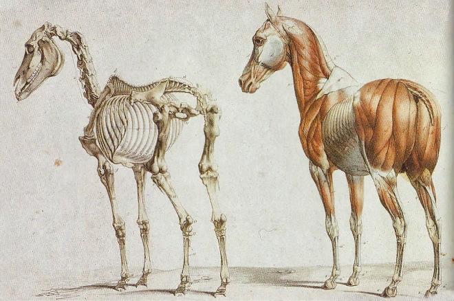 Скелет лошади