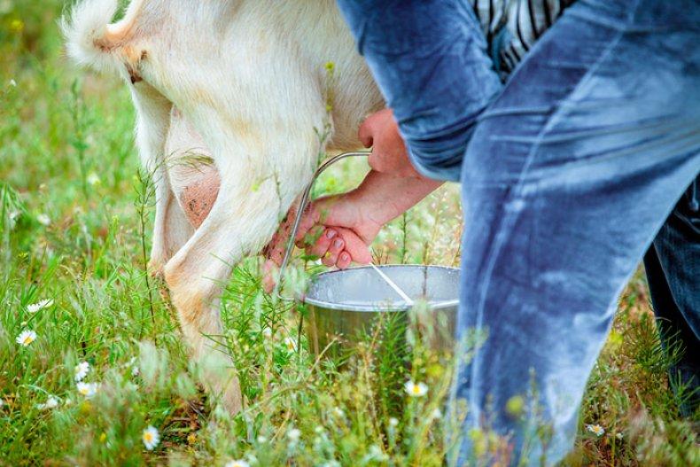 Сколько раз доить козу после окота