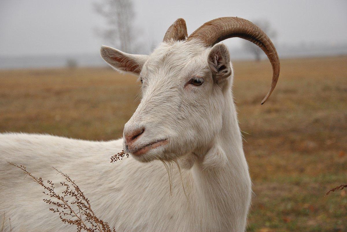 Сколько ходит беременная коза