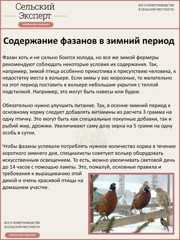 Содержание фазанов в зимний период