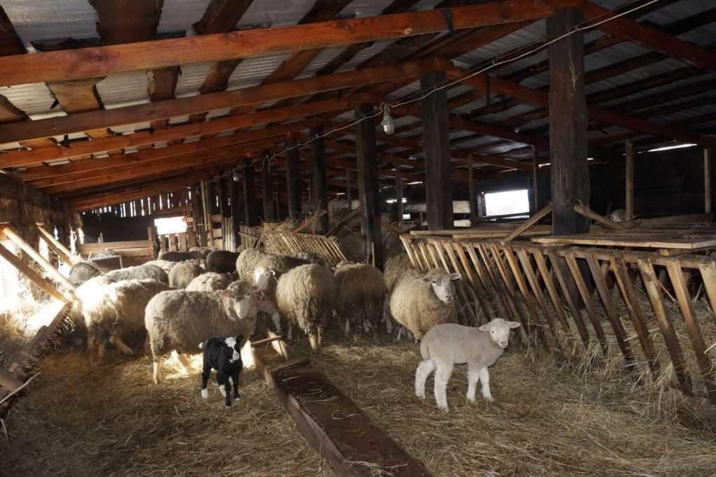 Солома на полу в овчарне
