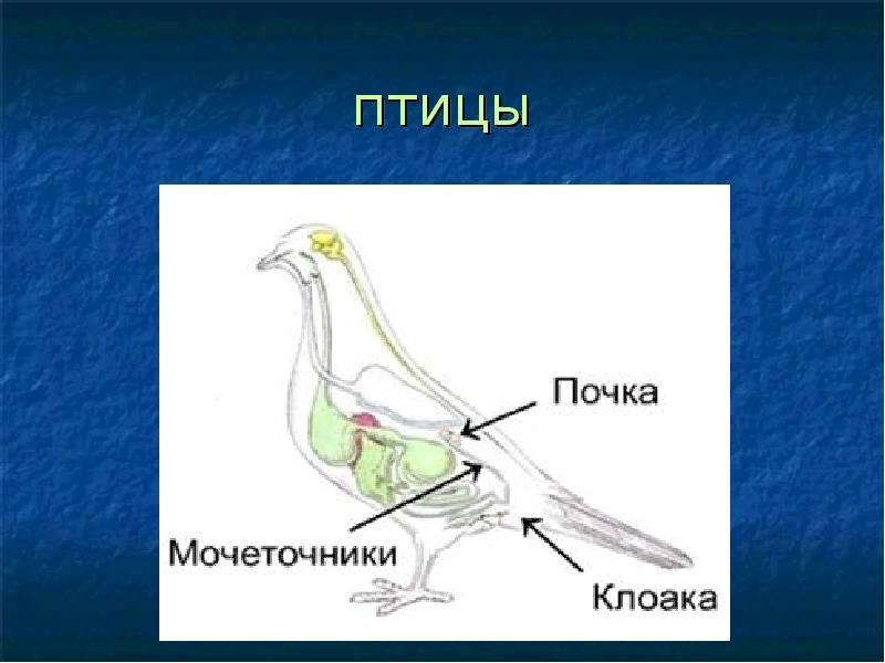 Строение выделительной системы голубя