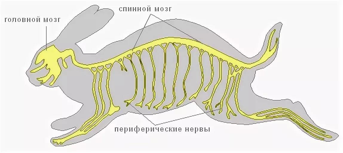 Строение нервной системы грызунов