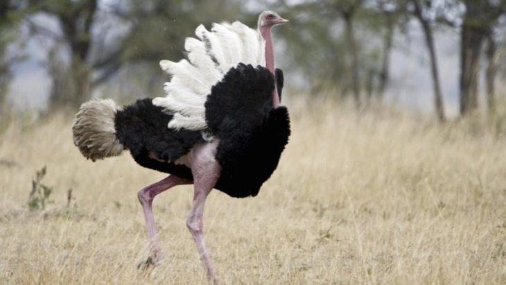 Удар конечностью страуса смертелен для человека и наносит огромный вред напавшему на страуса животному