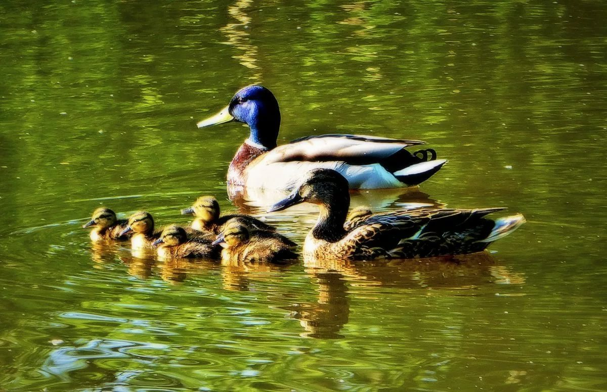 Утиное семейство на водоеме