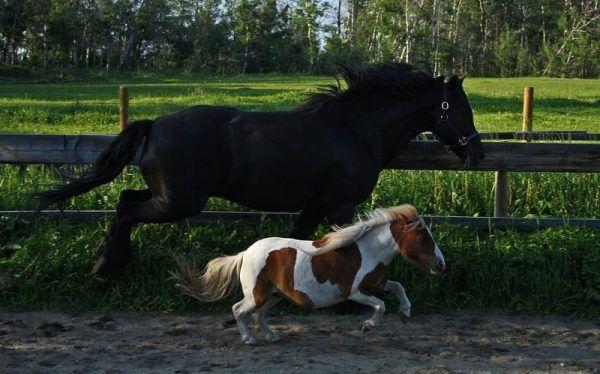 У обычных лошадей и пони одни предки