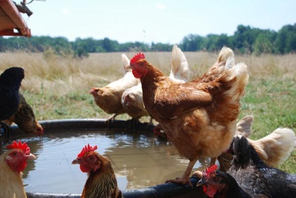 У птицы всегда должен быть доступ к воде