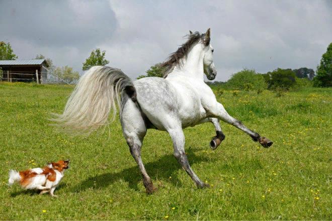 Хвост помогает коню контролировать движения