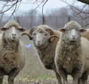 Цигайские овцы самые старые из известных пород