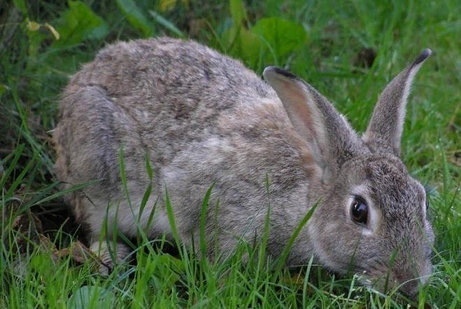 Частое дыхание у кроликов не является патологией