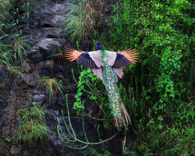 Часто особям приходится взлетать, чтобы забраться на дерево