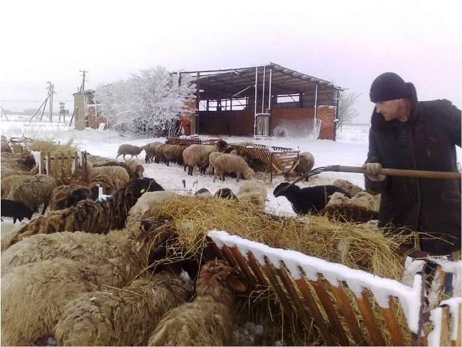 Чтобы продуктивность овец не страдала, качественное кормление должно быть организовано круглый год
