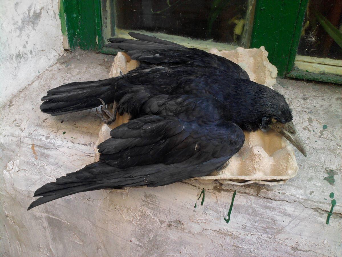 Чучело ворона - хороший отпугиватель голубей, так в природе эти птицы враждуют