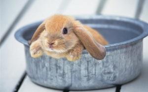 Можно ли купать кролика?