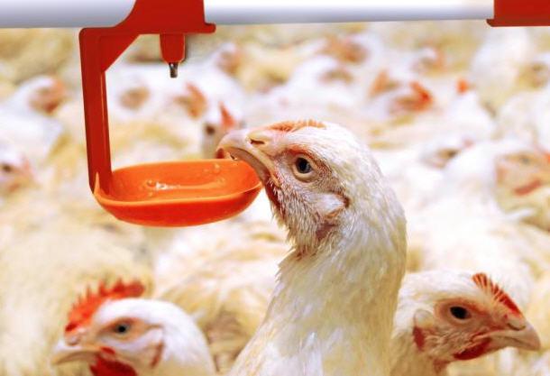 Шаг 8. Отпаивать птиц следует в течение недели при массовом заражении, просто наливая воду в кормушки