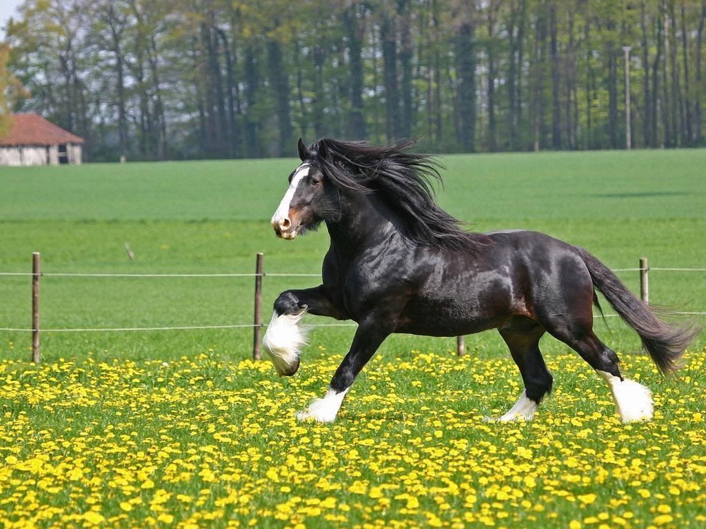 Шайрская лошадь