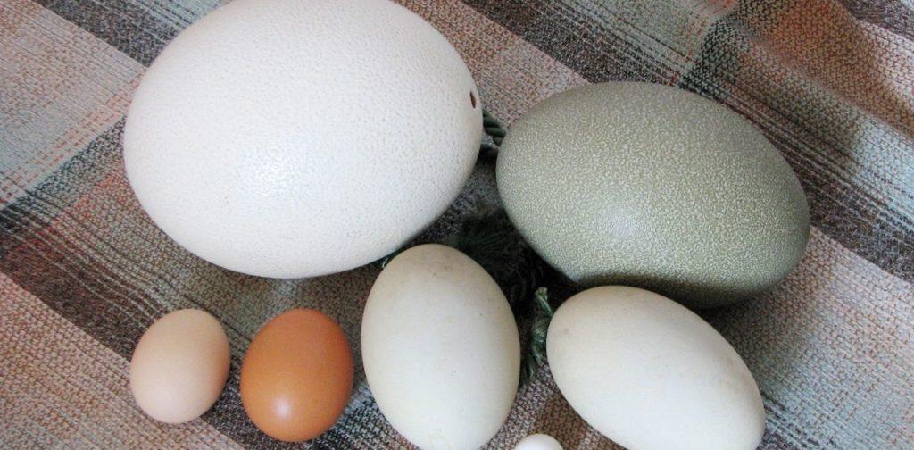 Яйца разных видов домашней птицы