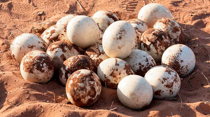 Яйца страуса самые крупные среди пернатых