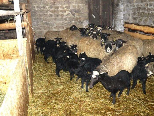 Романовские овцы с приплодом