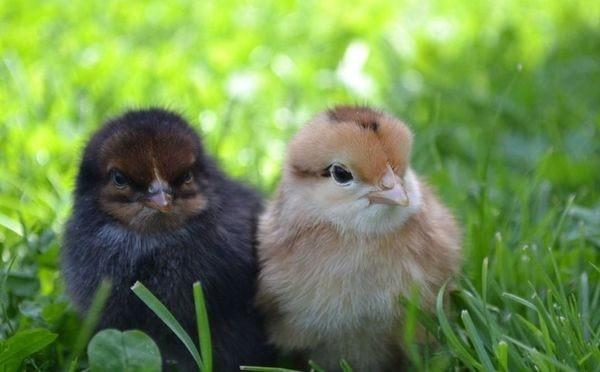 Антибиотик хорошо переносится молодняком сельскохозяйственной птицы
