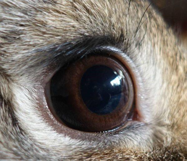 Здоровый глаз кролика