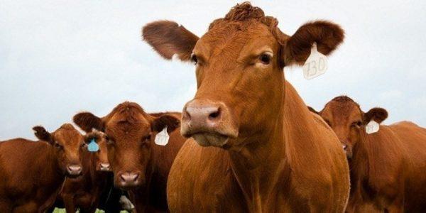 Англерские коровы дают уникальный по консистенции продукт