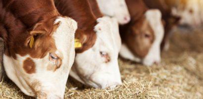 Кормления строится на особенностях физиологического состояния коров