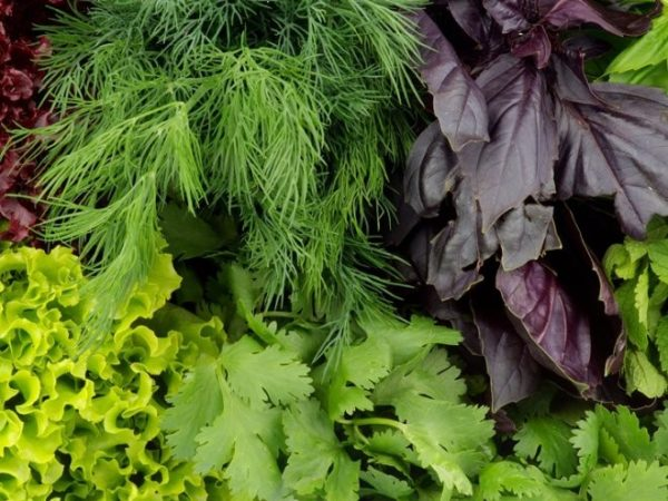 Зелень - один из обязательных компонентов питания перепела. Использовать ее можно в свежем и сушенном виде