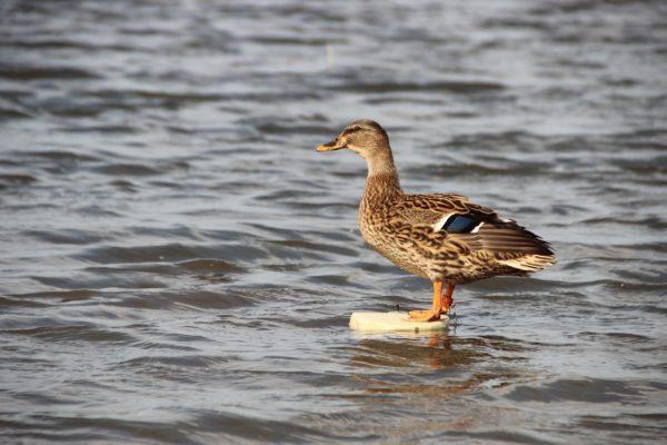 Подсадная утка на водоёме