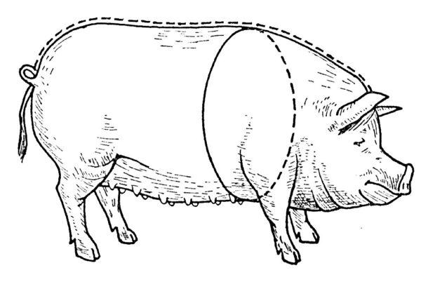 Схема проведения замеров свиньи