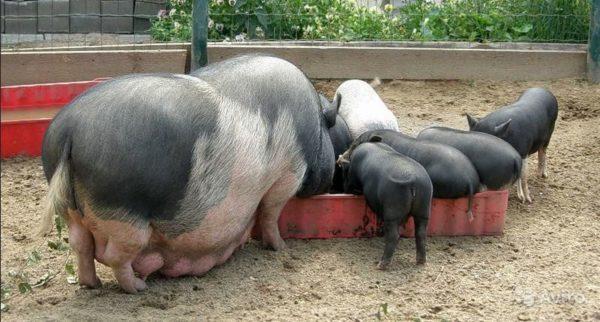 ЖКТ Вьетнамской свиньи плохо переваривает грубую пищу