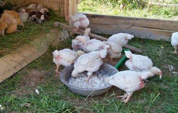 Натуральное питание помогает сократить расходы и делает куриное мясо более нежным