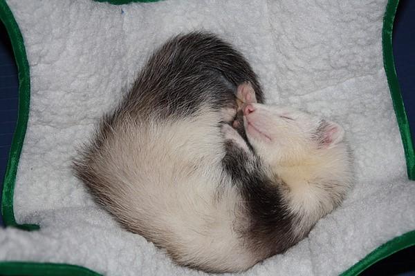 Самке хорька требуются регулярные спаривания, они защищают от длительной течки