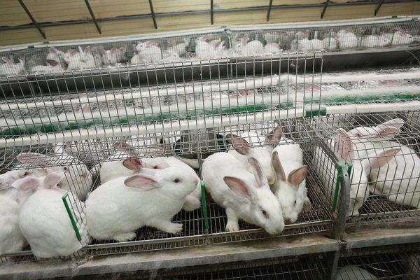 Рентабельность кролиководства