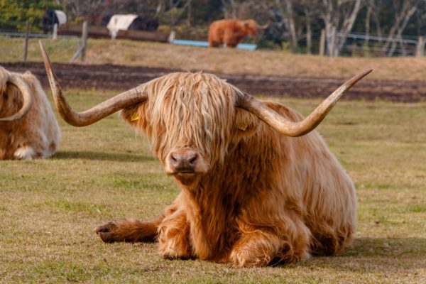 Корова породы Хайленд