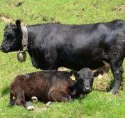 Мини-коровы Ангусской породы