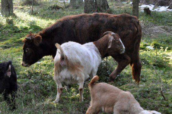 Мини-корова среди коз