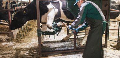 Обрезка копыт — неотъемлемая часть гигиены коров