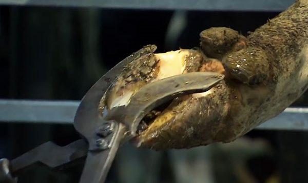 При несвоевременной обрезке у коров могут развиться болезни суставов