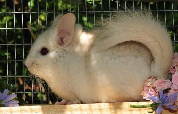 Белый лове оттенка «абрикос»