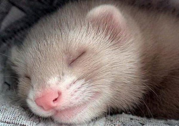 Спящий хорёк