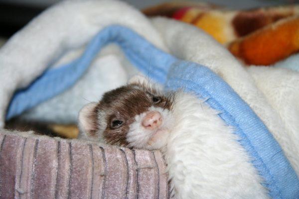 Хорёк под одеялом