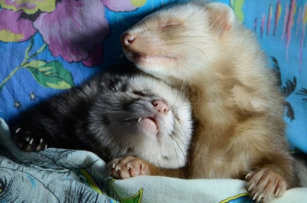 Спящие фретки