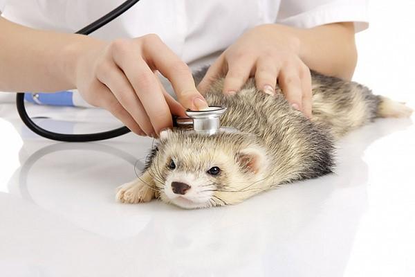 Ветеринар слушает хорька и дает рекомендации по уходу